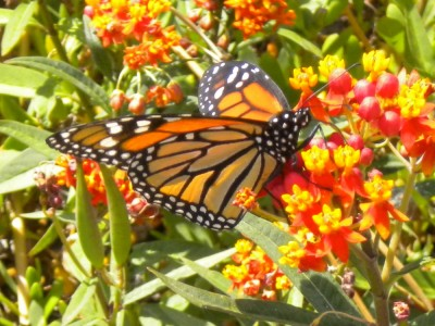 photo of a bright red / orange butterfly with thick black lines and white circular spots delineating areas across its wings