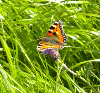 photo of a small tortoiseshell  butterfly with bright red, orange and black spots amongst blades of grass
